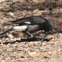 Strepera graculina (Pied Currawong) at Bruce, ACT - 23 Sep 2021 by AlisonMilton