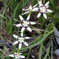 Wurmbea dioica subsp. dioica (Early Nancy) at Holt, ACT - 21 Sep 2021 by drakes