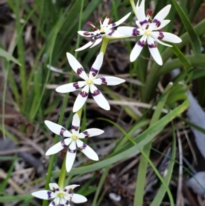 Wurmbea dioica subsp. dioica (Early Nancy) at Holt, ACT by drakes