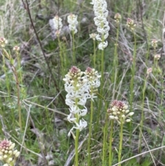 Stackhousia monogyna (Creamy Candles) at Moncrieff, ACT - 24 Sep 2021 by JaneR