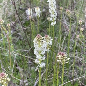 Stackhousia monogyna (Creamy Candles) at Moncrieff, ACT by JaneR