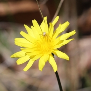 Lehtinelagia prasina (Leek-green flower spider) at Cook, ACT by Tammy