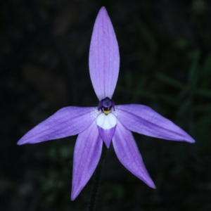 Glossodia major (Wax Lip Orchid) at suppressed by jbromilow50