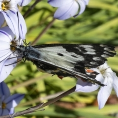 Delias aganippe (Spotted Jezebel) at Googong, NSW - 23 Sep 2021 by WHall