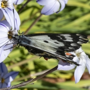 Delias aganippe (Spotted Jezebel) at Googong, NSW by WHall