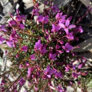 Tetratheca bauerifolia (Heath pink-bells) at Tuggeranong DC, ACT by Shazw