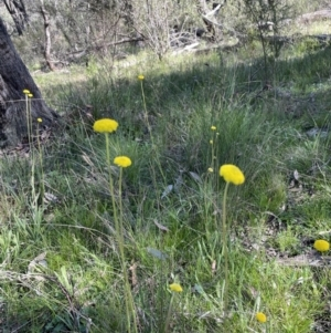 Craspedia sp. (Billy Buttons) at Hawker, ACT by John Brannan