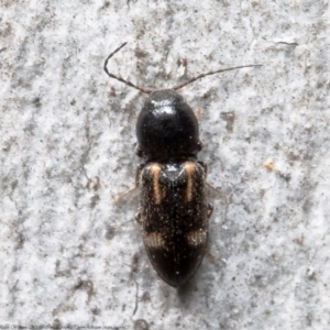 Austrocardiophorus assimilis (TBC) at suppressed by Roger