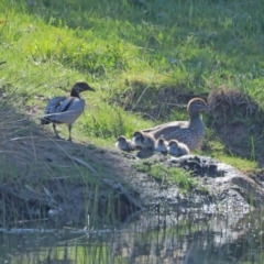 Chenonetta jubata (Australian Wood Duck) at Holt, ACT - 25 Sep 2021 by wombey