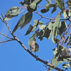 Gerygone fusca (Western Gerygone) at Holt, ACT - 25 Sep 2021 by wombey