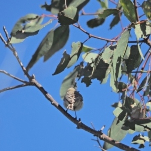 Gerygone fusca (Western Gerygone) at Holt, ACT by wombey