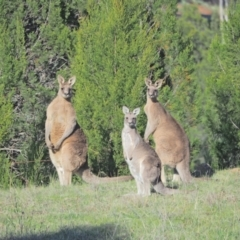 Macropus giganteus (Eastern Grey Kangaroo) at Holt, ACT - 24 Sep 2021 by wombey