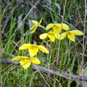 Diuris chryseopsis (Golden Moth) at Jerrabomberra, ACT by Mike
