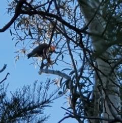 Callocephalon fimbriatum (Gang-gang Cockatoo) at Curtin, ACT - 23 Sep 2021 by jmcleod