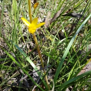 Bulbine bulbosa (TBC) at suppressed by Mike