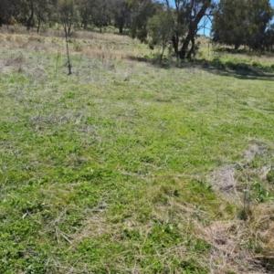Trifolium subterraneum (TBC) at suppressed by Mike