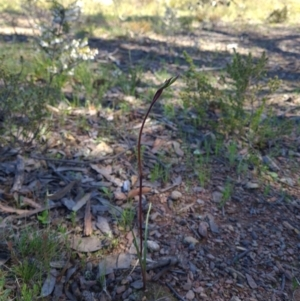 Diuris sp. (TBC) at suppressed by RobynHall
