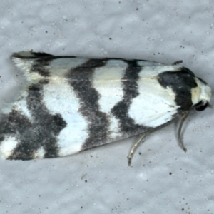 Thallarcha albicollis (TBC) at suppressed by jbromilow50