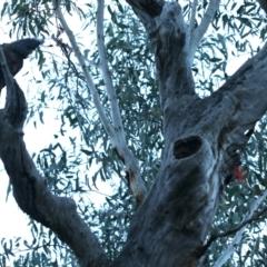 Callocephalon fimbriatum (Gang-gang Cockatoo) at Acton, ACT - 24 Sep 2021 by jbromilow50