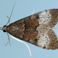 Uresiphita ornithopteralis (Tree Lucerne Moth) at Ainslie, ACT - 23 Sep 2021 by jbromilow50