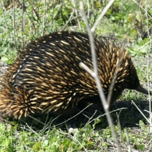 Tachyglossus aculeatus (TBC) at suppressed by jbromilow50