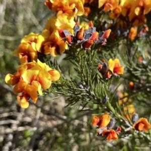 Dillwynia sp. Yetholme (P.C.Jobson 5080) NSW Herbarium (TBC) at suppressed by Wandiyali