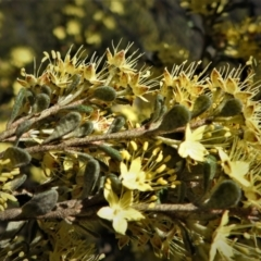 Phebalium squamulosum subsp. ozothamnoides (Alpine phebalium, Scaly phebalium) at Bonython, ACT - 25 Sep 2021 by JohnBundock