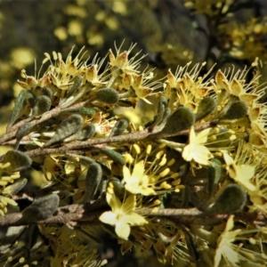Phebalium squamulosum subsp. ozothamnoides (TBC) at suppressed by JohnBundock