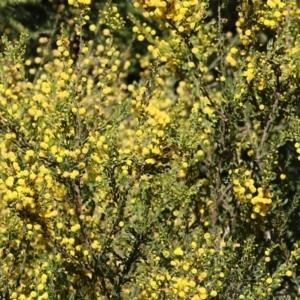 Acacia paradoxa (TBC) at suppressed by Kyliegw