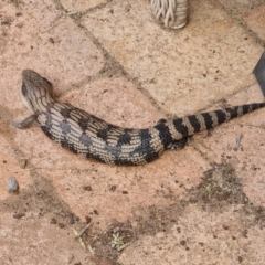 Tiliqua scincoides scincoides (Eastern Blue-tongue) at Isaacs, ACT - 25 Sep 2021 by Mike