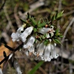 Leucopogon fletcheri subsp. brevisepalus (Twin Flower Beard-Heath) at Tuggeranong DC, ACT - 24 Sep 2021 by JohnBundock