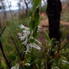 Brachyloma daphnoides (Daphne Heath) at Boro, NSW - 20 Sep 2021 by Paul4K