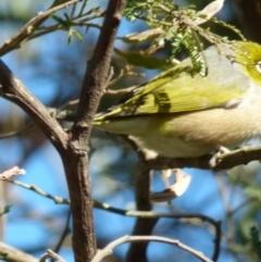 Zosterops lateralis (Silvereye) at Boro, NSW - 20 Sep 2021 by Paul4K
