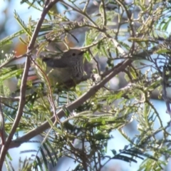 Acanthiza pusilla (Brown Thornbill) at Boro, NSW - 21 Sep 2021 by Paul4K