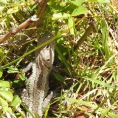 Amphibolurus muricatus at suppressed - 25 Sep 2021