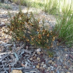 Daviesia acicularis (Sandplain Bitterpea) at suppressed - 22 Sep 2021 by Paul4K