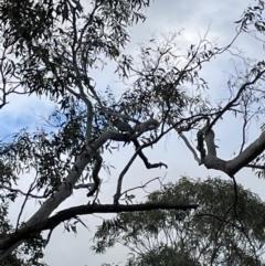 Callocephalon fimbriatum (Gang-gang Cockatoo) at Bruce, ACT - 25 Sep 2021 by JVR