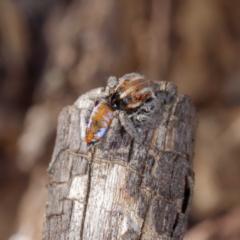 Maratus calcitrans (Kicking peacock spider) at Forde, ACT - 23 Sep 2021 by DPRees125