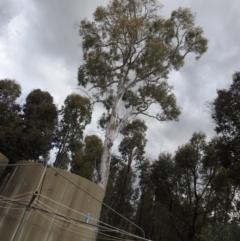 Eucalyptus mannifera (Brittle Gum) at Carwoola, NSW - 25 Sep 2021 by Liam.m