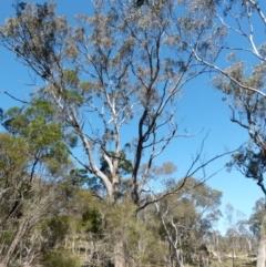Eucalyptus melliodora (Yellow Box) at Boro, NSW - 23 Sep 2021 by Paul4K