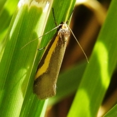 Philobota chrysopotama (A concealer moth) at Kambah, ACT - 25 Sep 2021 by HelenCross