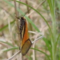 Philobota undescribed species near arabella (A concealer moth) at Kambah, ACT - 25 Sep 2021 by HelenCross