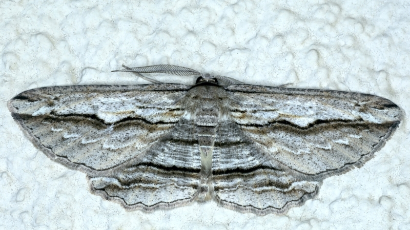 Euphronarcha luxaria at Ainslie, ACT - 23 Sep 2021