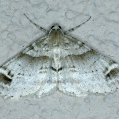 Syneora hemeropa (Ring-tipped Bark Moth) at Ainslie, ACT - 23 Sep 2021 by jbromilow50