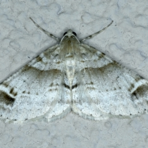 Syneora hemeropa at Ainslie, ACT - 23 Sep 2021