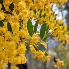 Acacia buxifolia subsp. buxifolia (Box-leaf Wattle) at Kambah, ACT - 25 Sep 2021 by HelenCross