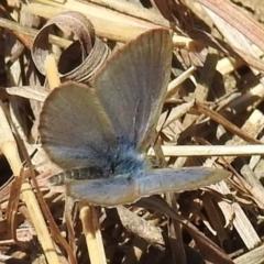 Zizina otis (Common Grass-Blue) at Kambah, ACT - 25 Sep 2021 by HelenCross