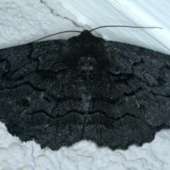 Melanodes anthracitaria (Black Geometrid) at Ainslie, ACT - 23 Sep 2021 by jbromilow50