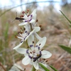 Rhytidoponera sp. (genus) (Rhytidoponera ant) at Kambah, ACT - 25 Sep 2021 by HelenCross