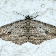 Xanthorhoe anaspila (Dark-patch Carpet) at Ainslie, ACT - 23 Sep 2021 by jbromilow50